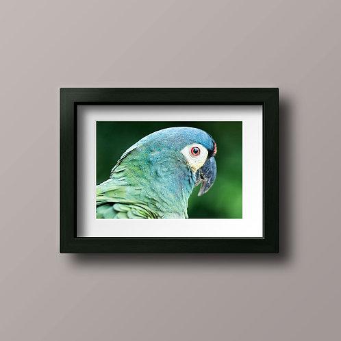 Brazilian Parrot - Ref B001