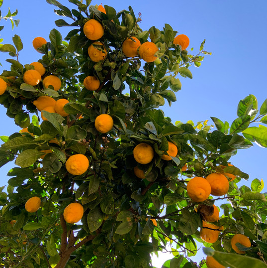 Sitrontræ