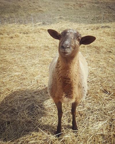 sheep7.jpg