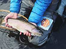 river-watch-of-colorado---trout-stocking
