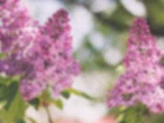 budburst---lilac-festival.jpg