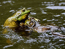 frogwatch---habitats-and-invasive-specie