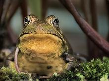 frogwatch---frog-symphony.jpg