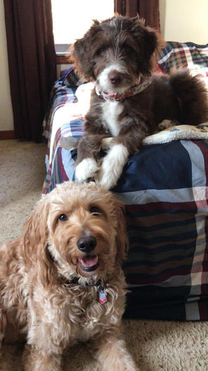 Aussiedoodle and golendoodle