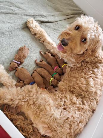 Goldendoodle feeding puppies