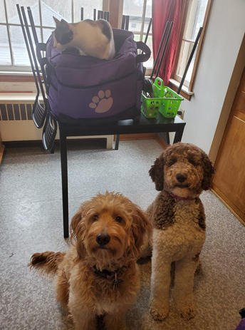 Goldendoodle and poodle