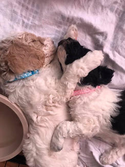 parti goldendoodle puppies