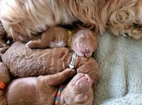 newborn goldendoodle