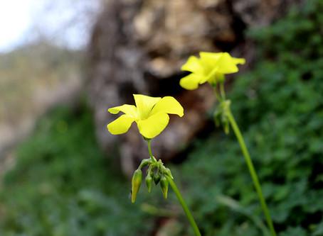 צהוב, חמוץ ונטוי - חמציץ
