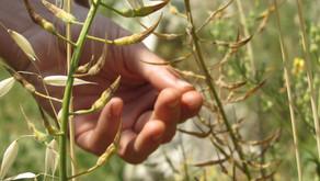 מלקטים בקיץ -חמישה צמחי בר נאכלים.