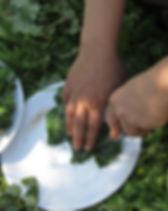 צמחי בר -גדילן.jpg
