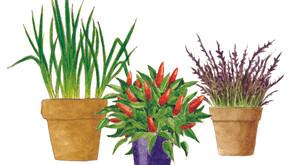 גן ירק בתוך הבית ~ ירקות במכלים