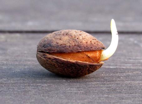 עץ גדול - זרע קטן - על גידול עצים מזרעים