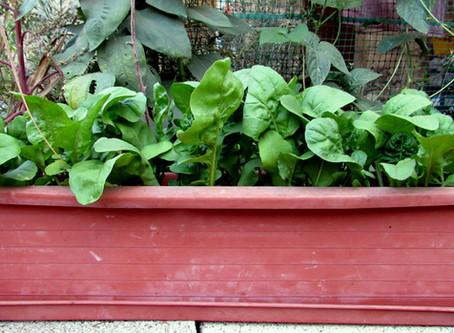 שפע של צמחי חורף אכילים באדניות