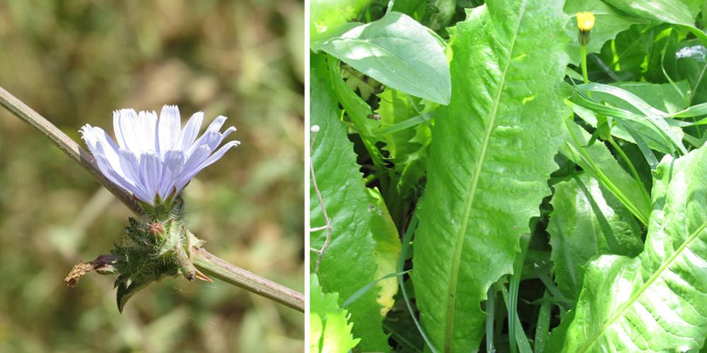 עולש - עלים ופרח