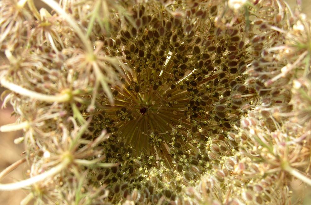גזר קיפח, זרעים