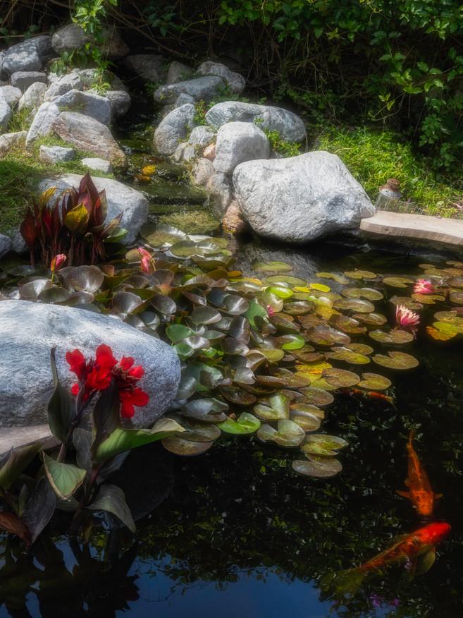 Garden+ Koi morning DSC_7960 .jpg