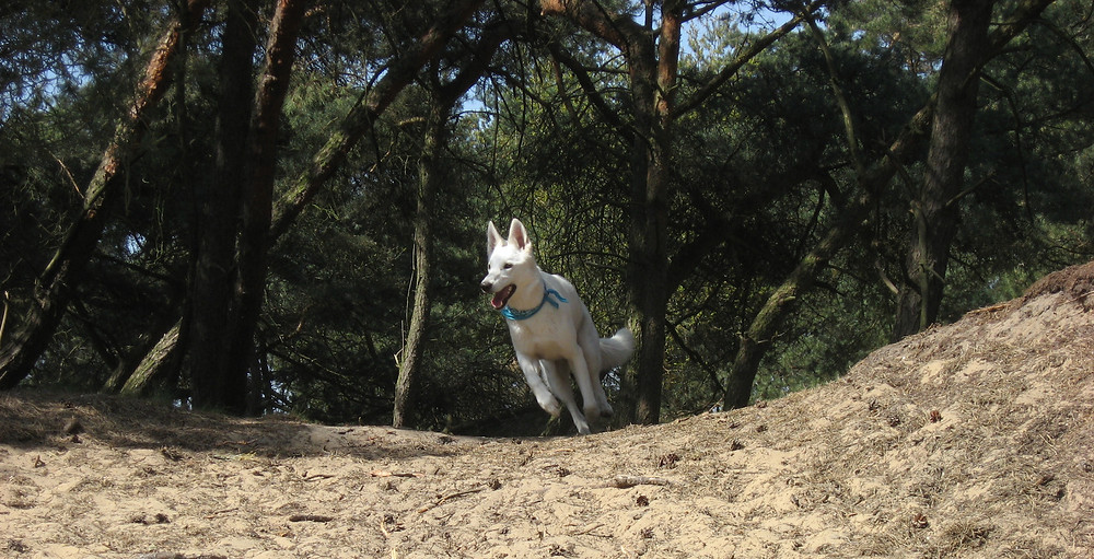 Lopende hond