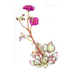 Pata de guanaco - Cistanthe grandiflora