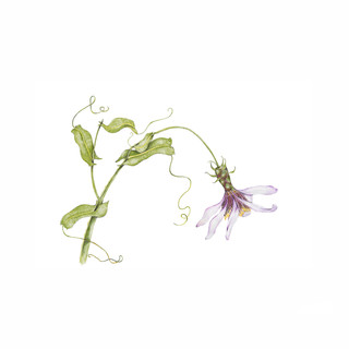 Clavel del Campo - Mutisia spinosa var. Pulchella