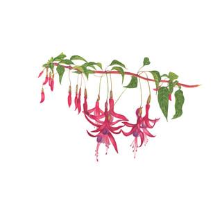 Chilco - Fuchsia magellanica