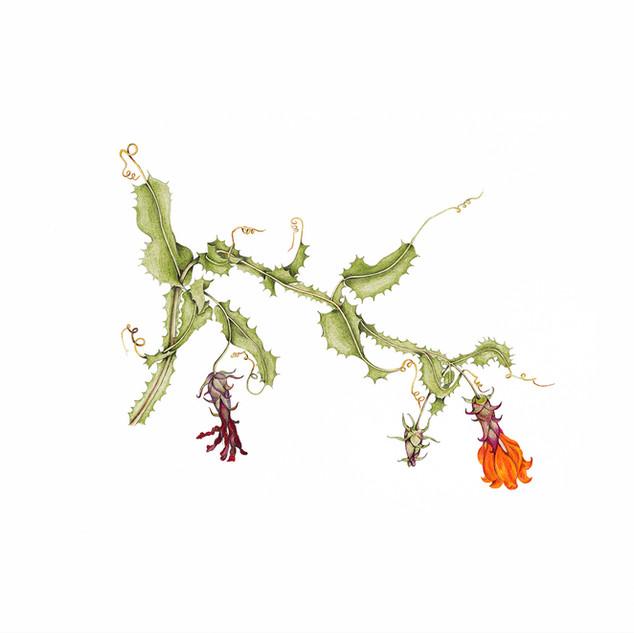Clavel del Campo - Mutisia brachyantha