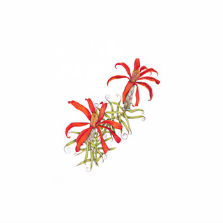 Clavel del Campo - Mutisia subulata