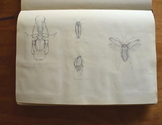 Insectos Chilenos