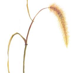 Espiga de Pennisetum