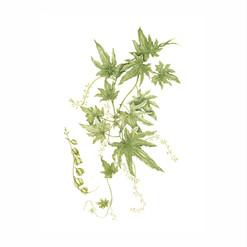 Papa cimarrona - Dioscorea brachyantha