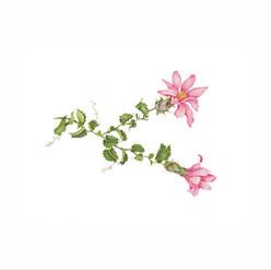 Clavel del Campo - Mutisia ilicifolia