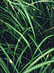 grass leaves.png