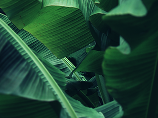 Banana leaf 1.png