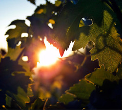 Sunset grapes