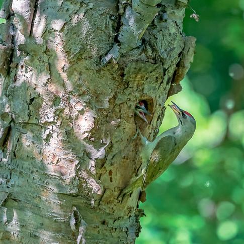 ヤマゲラ繁殖