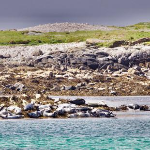 Lazing seals on the Monach Islands