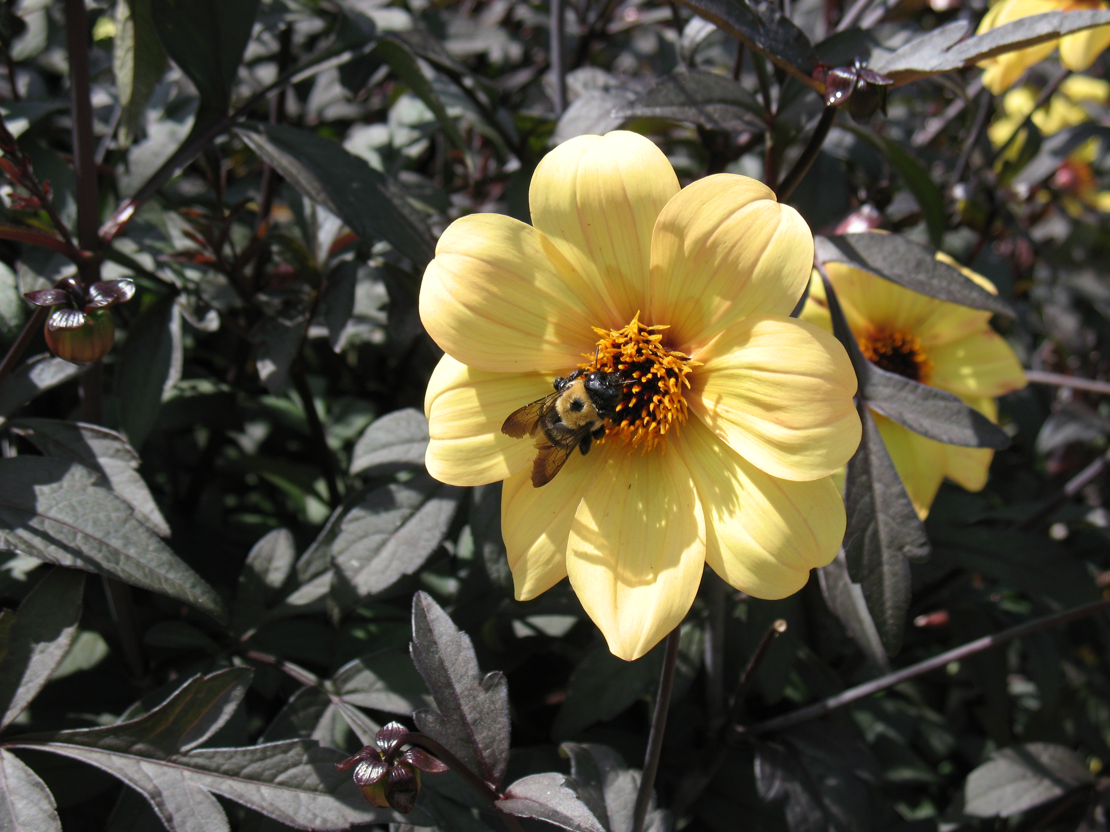 Bee and Yellow Dahlia