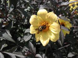 Bee and Yellow Dahlia