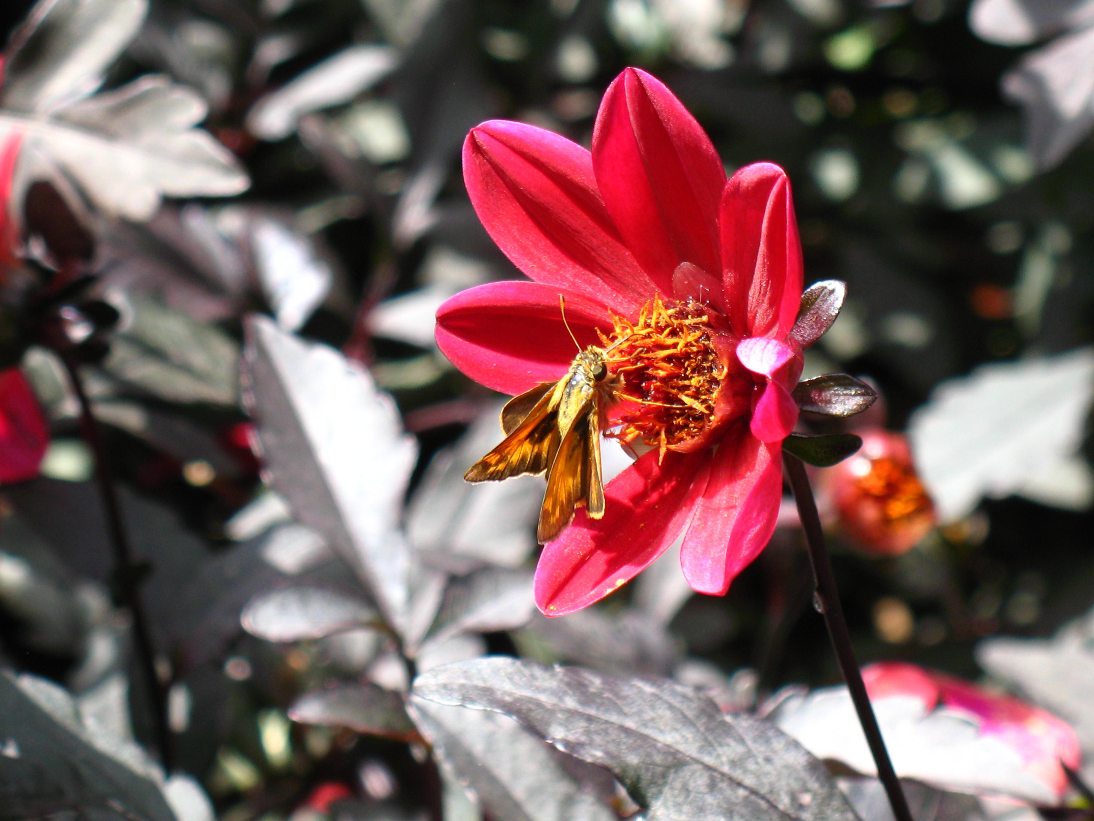 Moth on pink dahlia