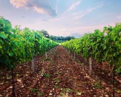 In Sylvis - vineyard - vinograd