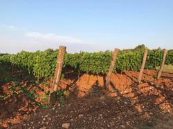 In Sylvis vinograd