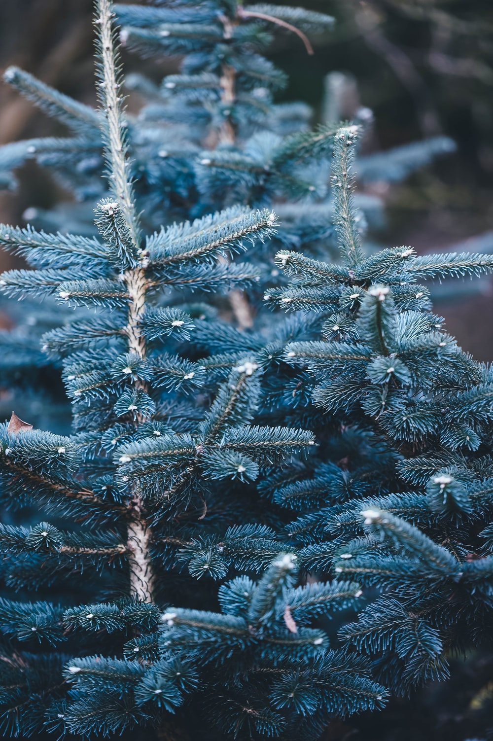Needly branches of a spruce tree