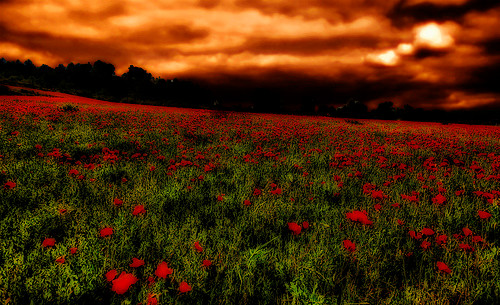 Poppies - remembering the fallen.