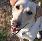 Labrador Retriever at Camp FurBaby, Ennis, TX