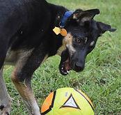 German Shepherd playing soccer