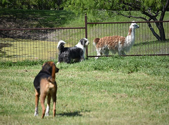 Camp Fur Baby dog boarding and daycare Ennis, Texas pet sitter