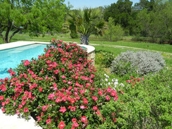 roses by the pool