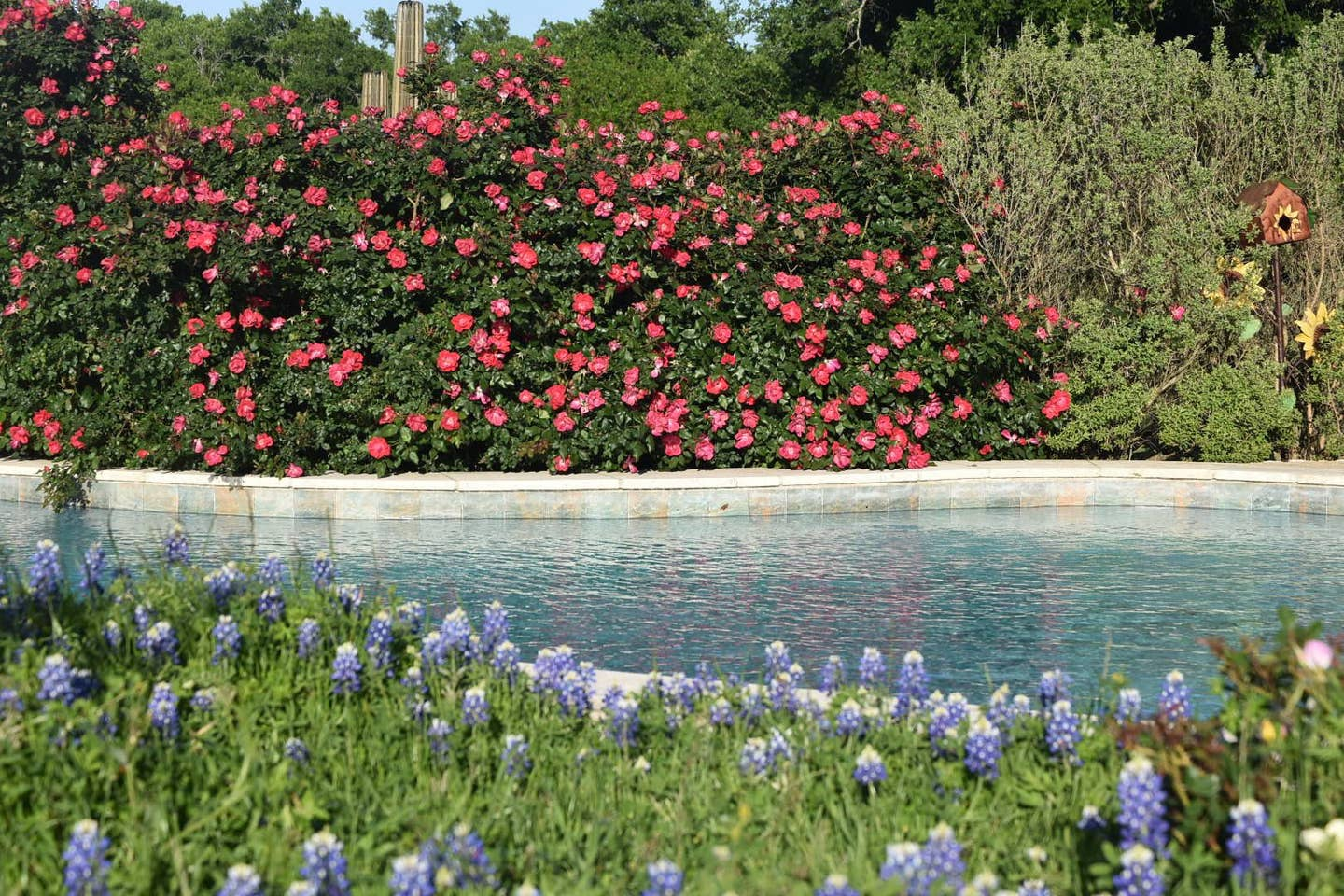 Bluebonnets by the pool, oh my! Ennis, Texas Kick Ass Ranch