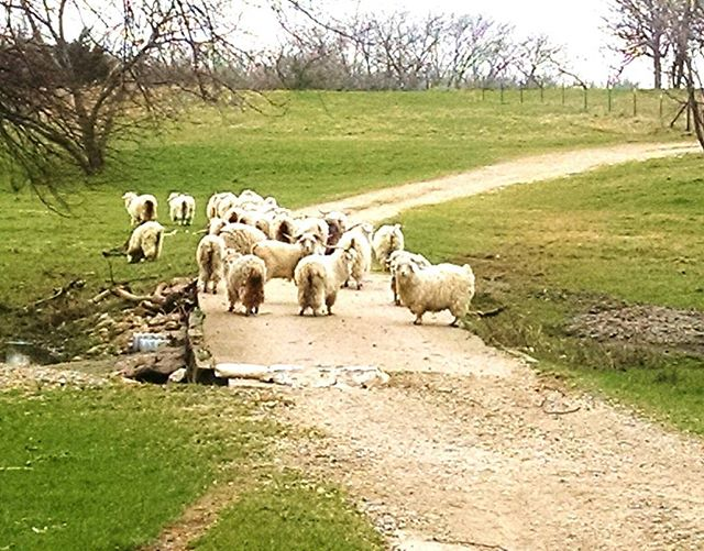 Angora Goats at Rancho Encanto