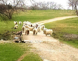 Angora Goats at Rancho Encanto